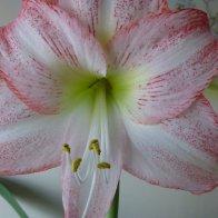 FlowerHead(Lily)